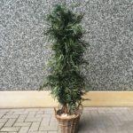 Eucalyptus Pendula