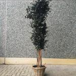 Eucalyptus Populus Burgundy