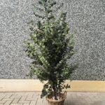 Eucalyptus populus (green)